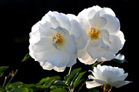 Iceberg roses in the fall 2014