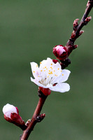 First year apricot flower 2013 I