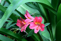 Alstroemeria (among leaves of Agapanthus)