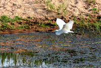 Great White Egret in flight 1
