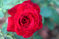 Love's Promise Hybrid Tea Rose 2017