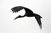 Black Egret in flight 2