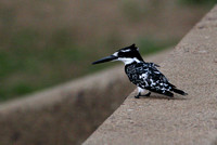 Pied Kingfisher 2