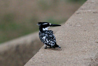 Pied Kingfisher 3