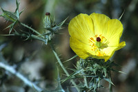 Prickly poppy at Kruger National Park 2006