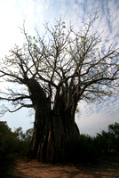 Baobab Tree, Kruger National Park 2006