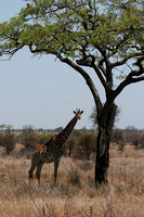 Giraffe and Tree, Kruger National Park, South Africa 2006
