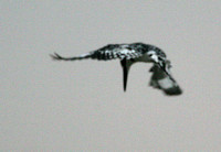 Pied Kingfisher 7
